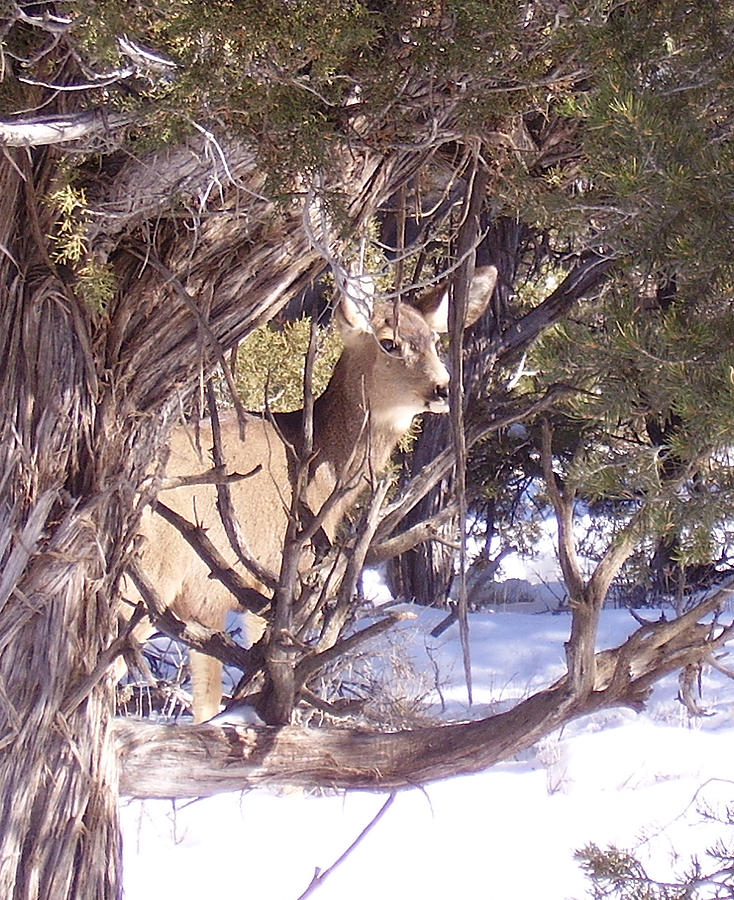Deer Photograph - Juniper Deer by FeVa  Fotos