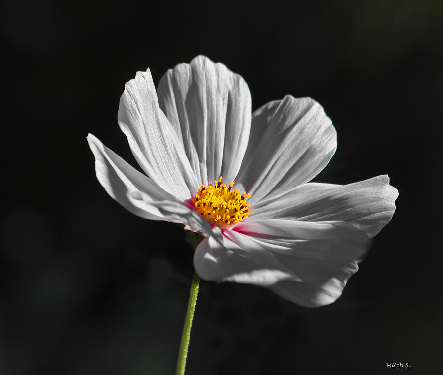 Just A Flower Photograph - Just A Flower by Mitch Shindelbower