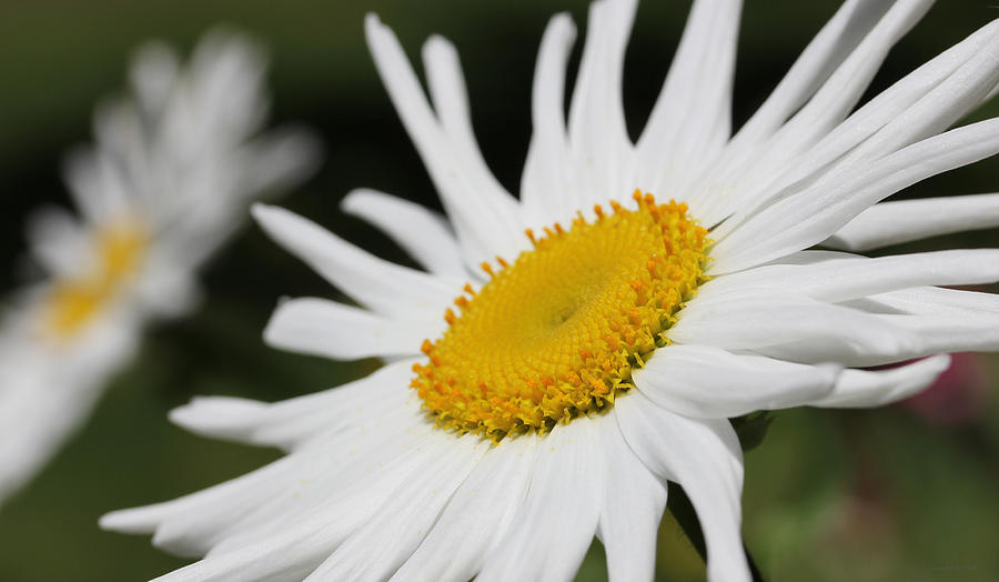 Just A Shasta Daisy  Photograph  - Just A Shasta Daisy  Fine Art Print