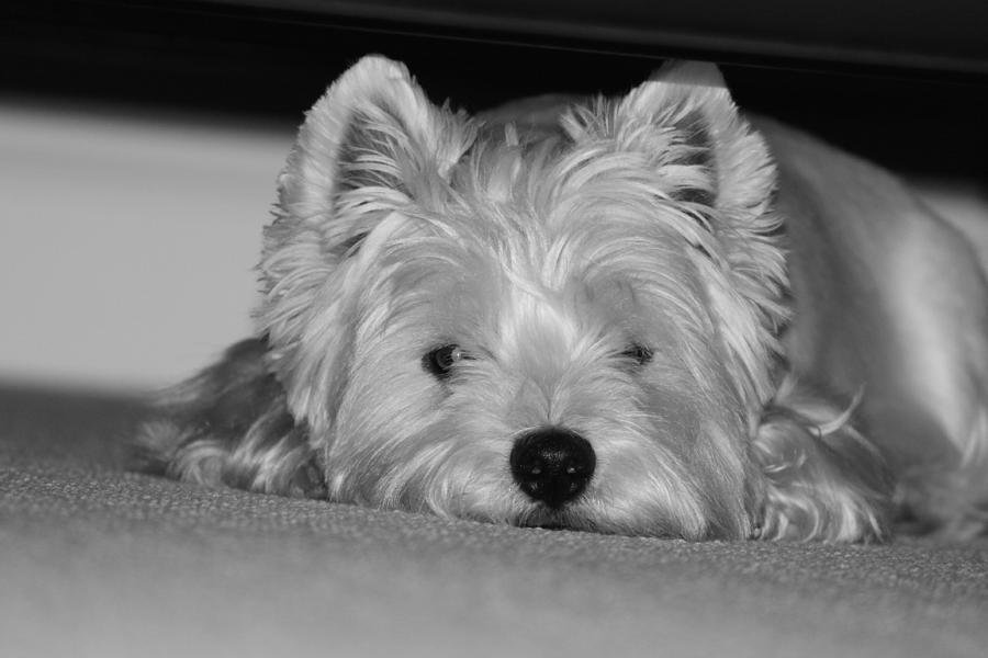 Westie Photograph - Just Chillin by Jon and Chris Zombek