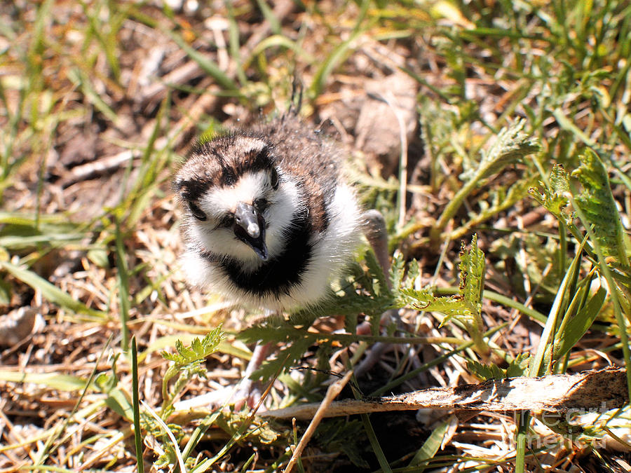 Just Hatched - Killdeer Photograph