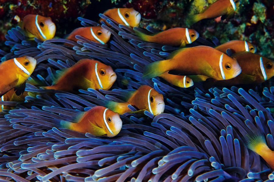 Juvenile Maldives Clownfish Swim Photograph  - Juvenile Maldives Clownfish Swim Fine Art Print