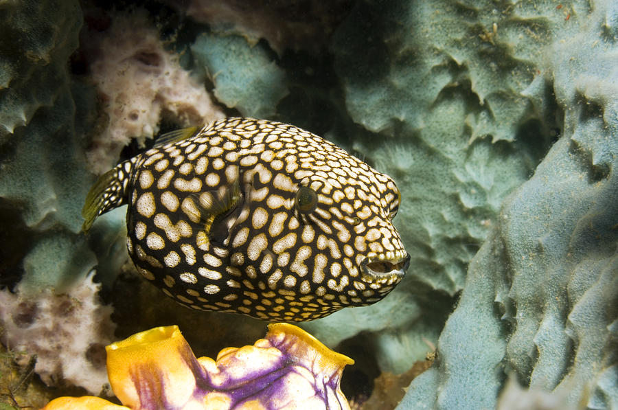 Juvenile Map Pufferfish Photograph