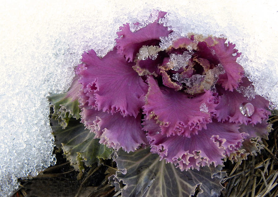 Kale Plant In Snow Photograph