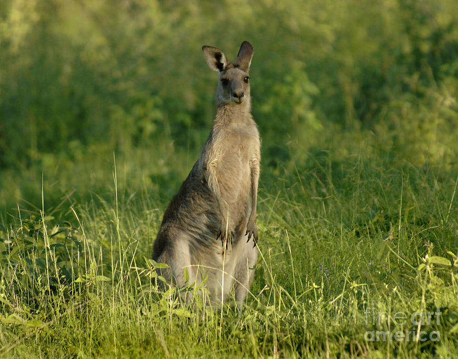 Kangaroo Female Photograph