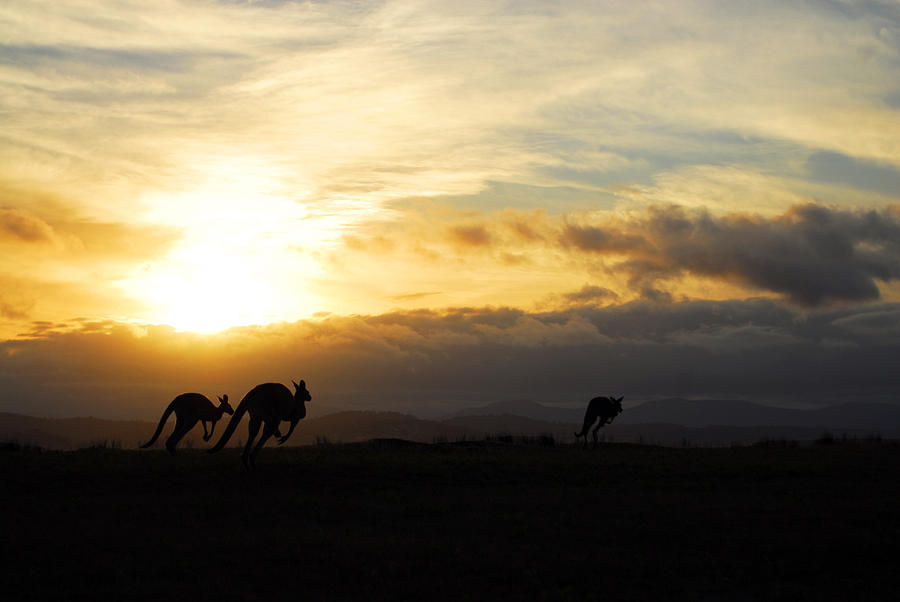 Kangaroos And Sunset Photograph