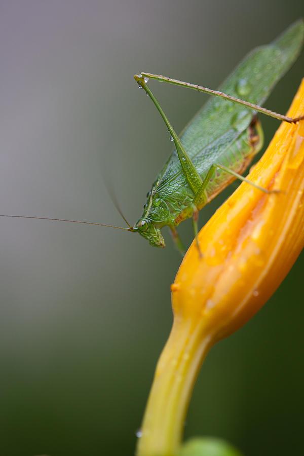 Bug Photograph - Katydid by Karol Livote