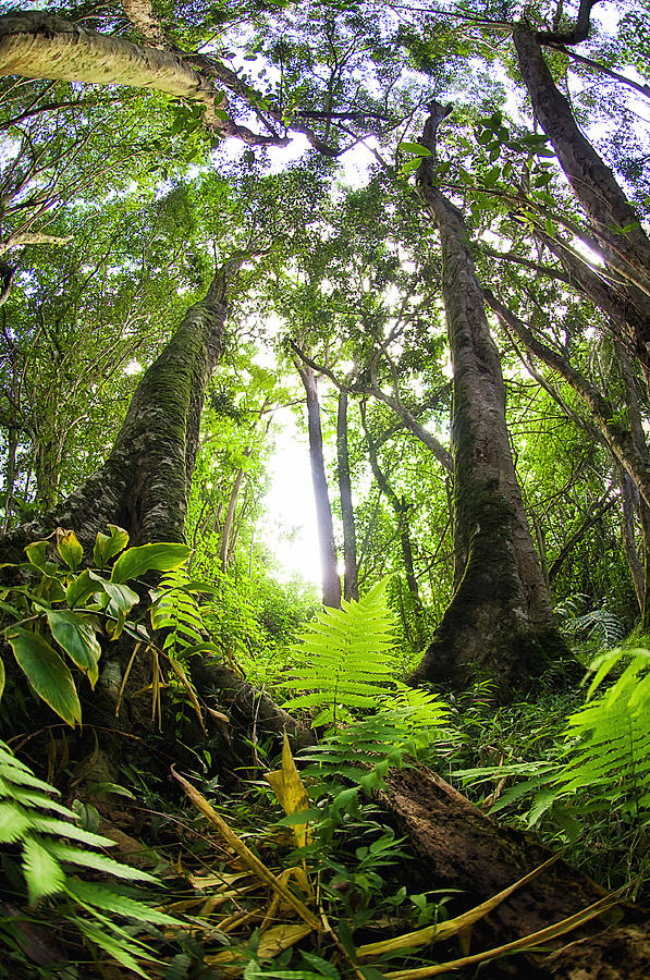 Kauai Green Forest Photograph  - Kauai Green Forest Fine Art Print