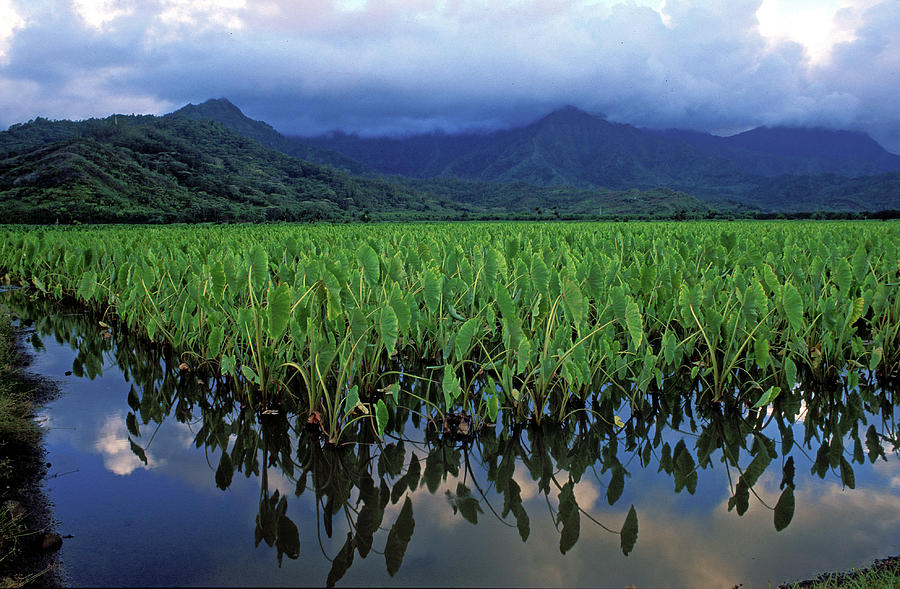 Kauai Taro Field Photograph