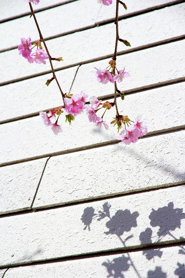 Kawadu Sakura Photograph