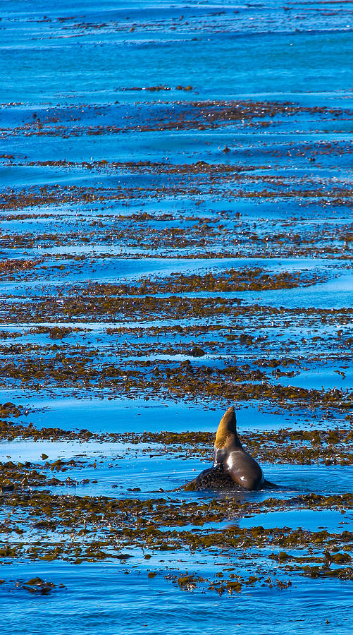 Kelp Photograph - Kelp And Sea Lion by Adam Pender