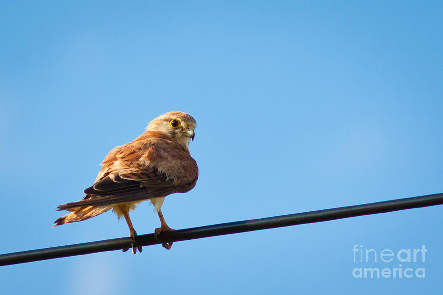 Kestrel Photograph  - Kestrel Fine Art Print