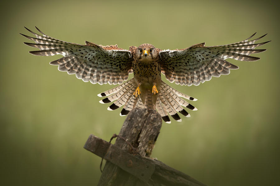 Kestrel On Final Approach Photograph