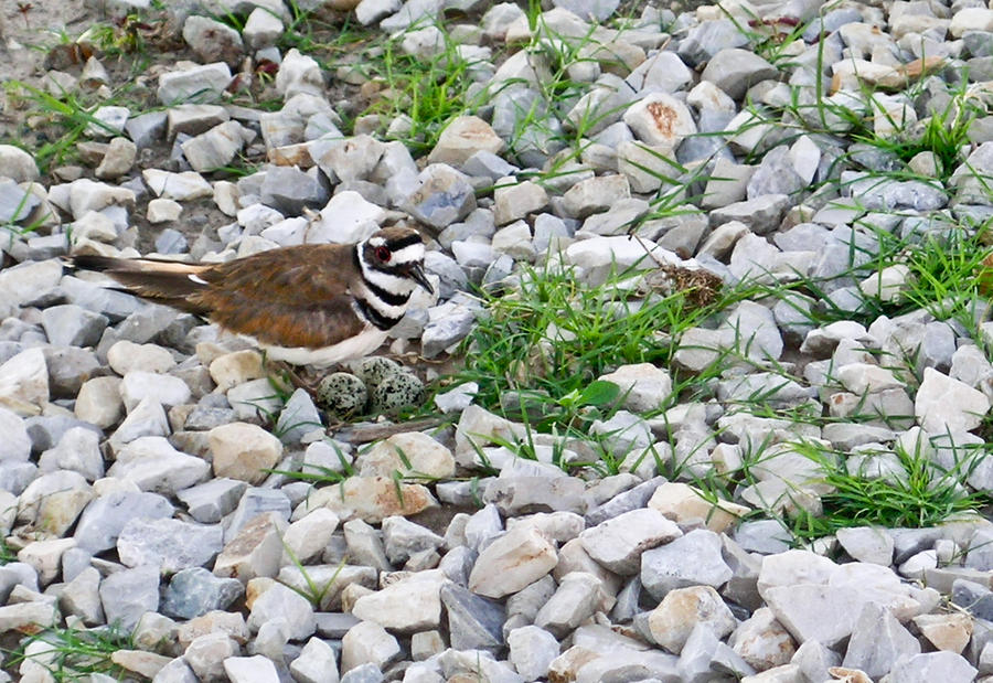 Killdeer 1 Photograph  - Killdeer 1 Fine Art Print