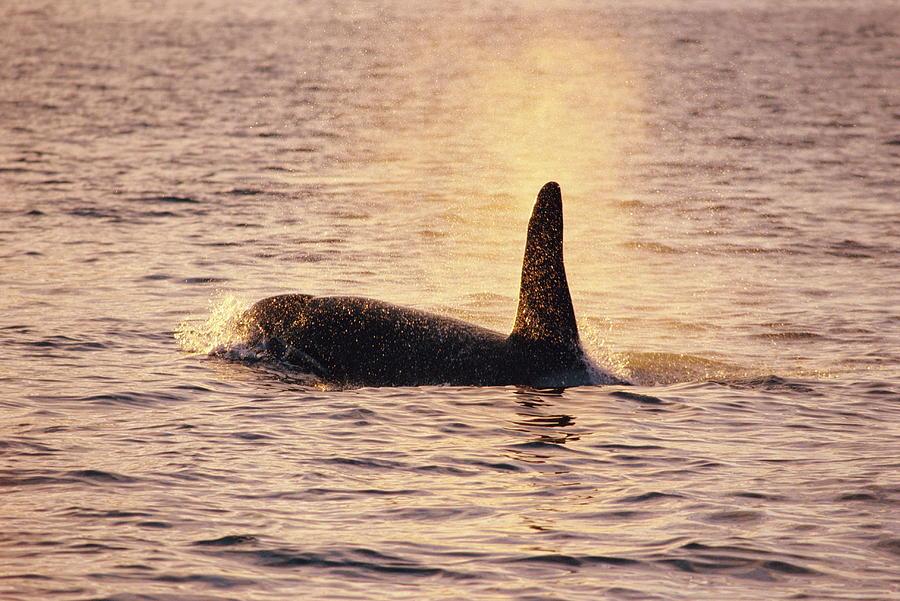Killer Whale Photograph