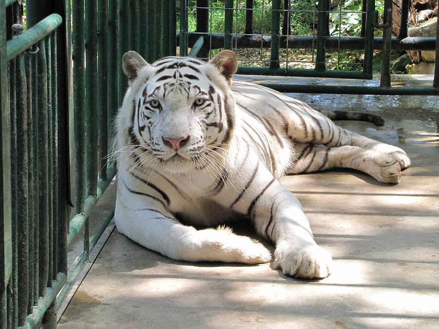 Kimar The White Tiger Photograph by Keith Stokes