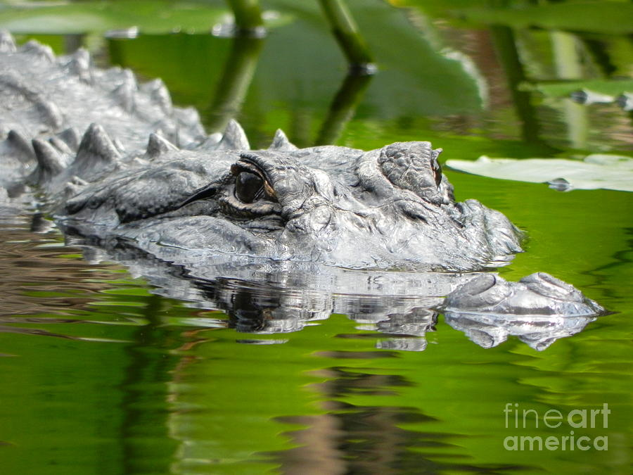King Of The Florida Jungle Photograph  - King Of The Florida Jungle Fine Art Print