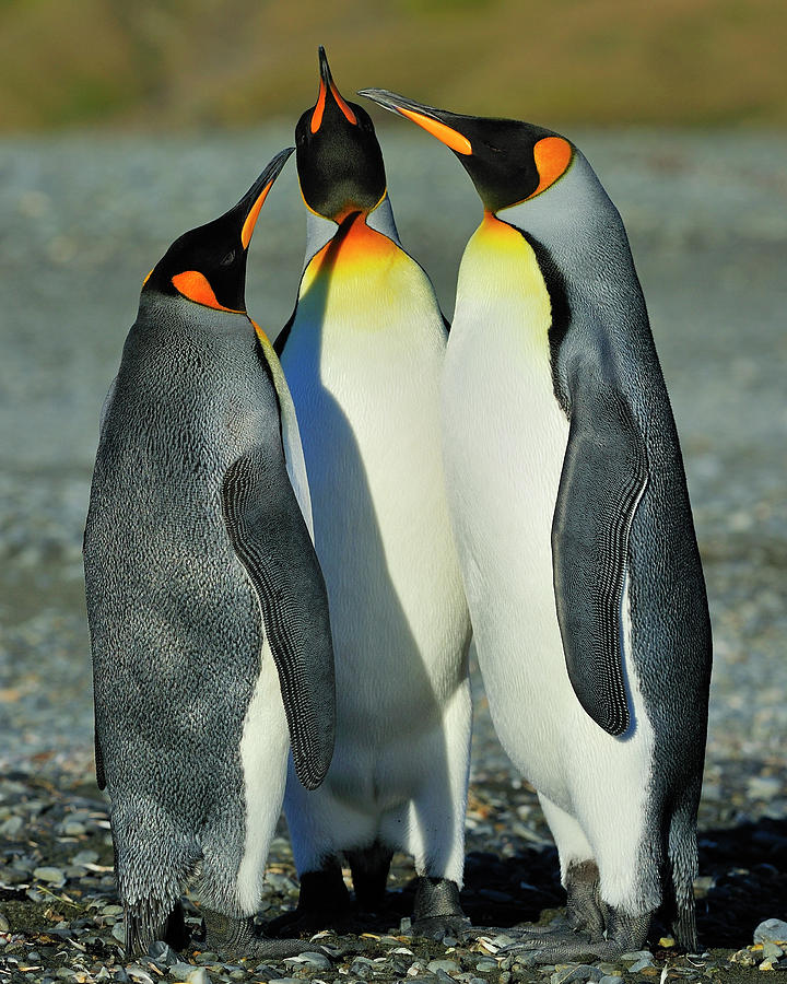King Penguins Standoff Photograph  - King Penguins Standoff Fine Art Print