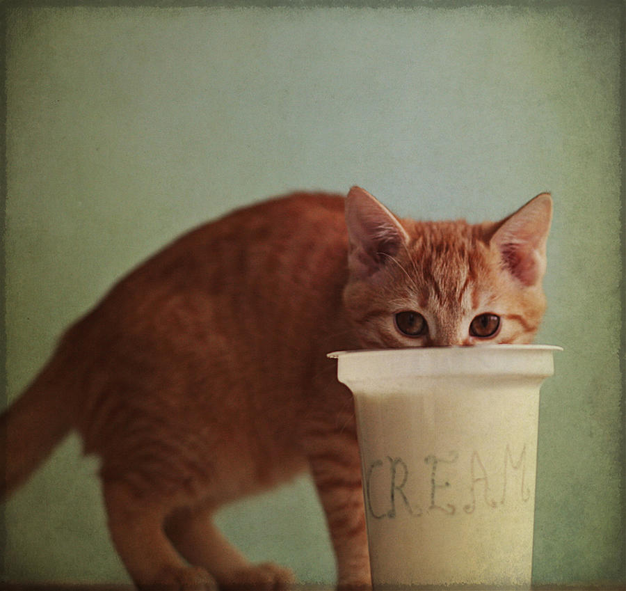 Kitten Eating From Big Pot Of  Cream Photograph