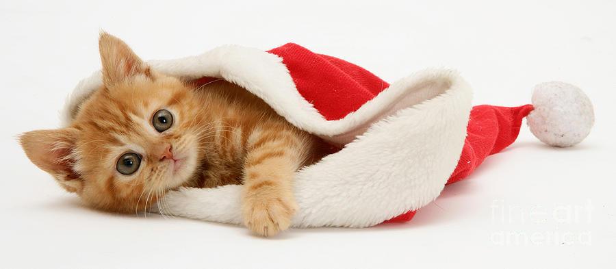 Kitten In A Santa Hat Photograph