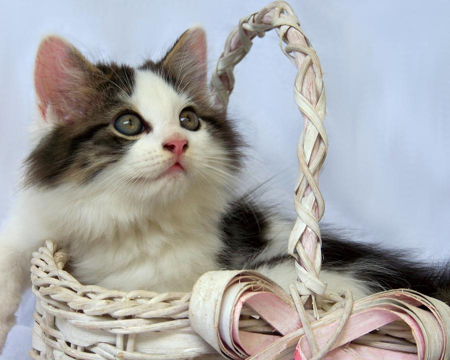 Kitten In Basket Photograph  - Kitten In Basket Fine Art Print