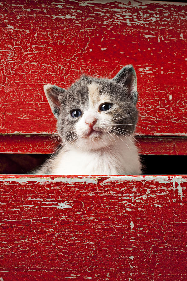 Kitten In Red Drawer Photograph
