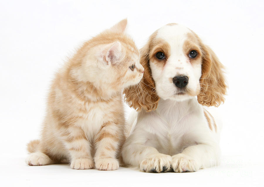Kitten With Cocker Spaniel Puppy Photograph  - Kitten With Cocker Spaniel Puppy Fine Art Print