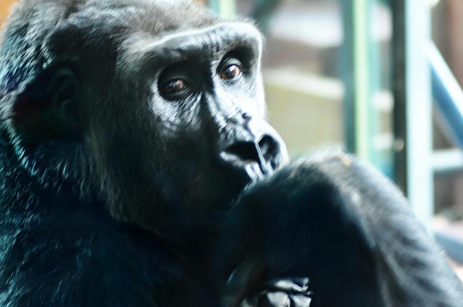 Kivu The Gorilla Photograph