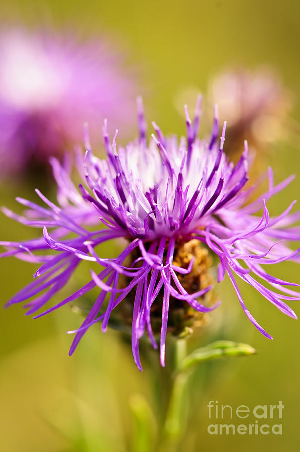 Knapweed Flower Photograph
