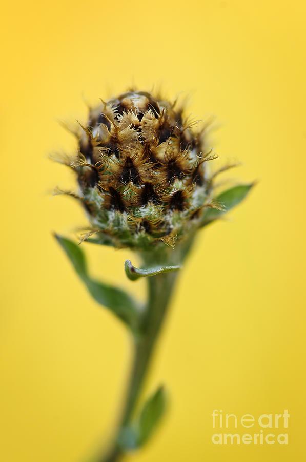 Knapweed Plant Photograph