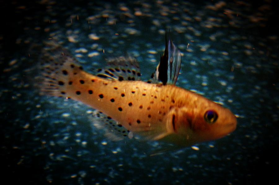 Knight Goby Photograph