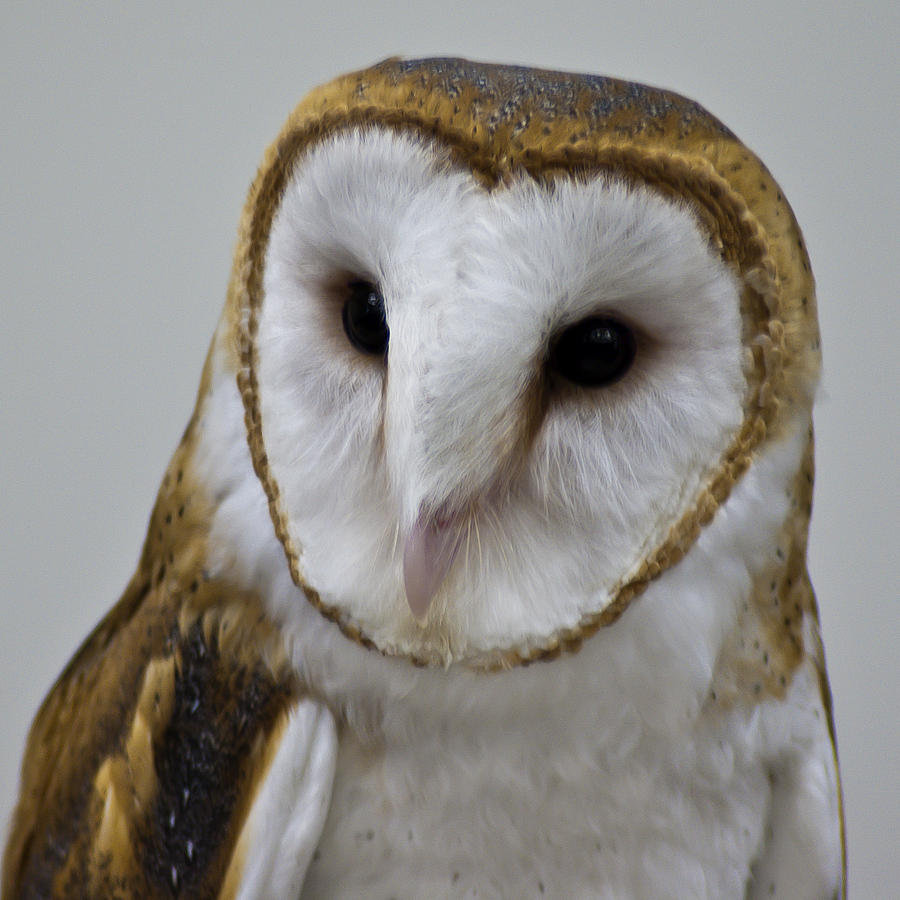 Knowing Barn Owl Photograph