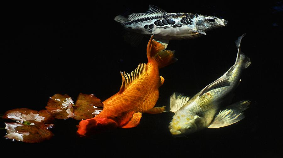 Koi By The Lillies Photograph