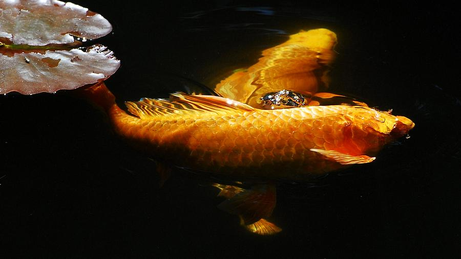 Koi Photograph - Koi Crossing by Don Mann