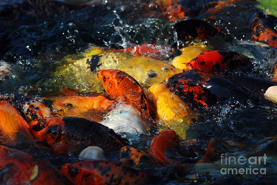 Koi fish photograph by eva kaufman for Large coy fish