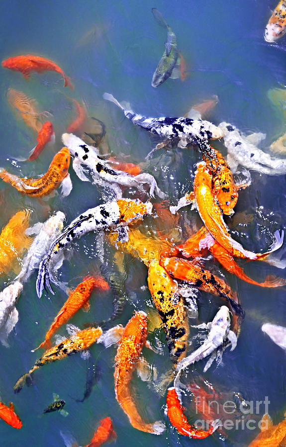 Koi Fish In Pond Photograph