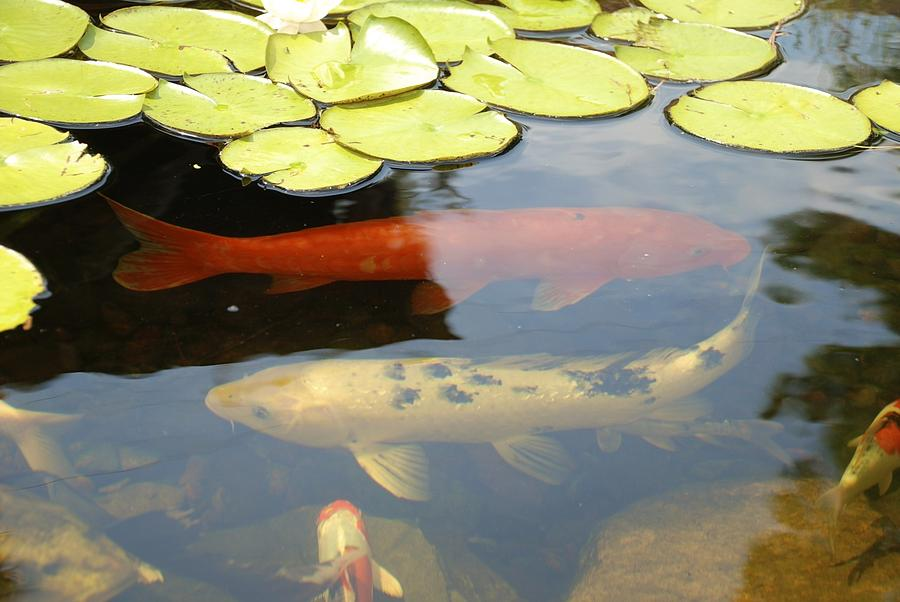 Koi fish in pond photograph by jill schmidt for Koi pond photos