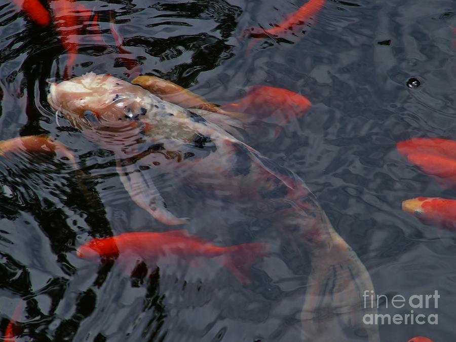 Koi fish in pond photograph by rory cubel for American koi fish