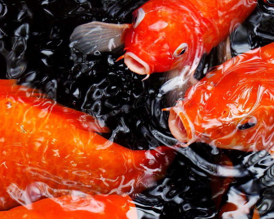 Koi fish photograph by still watters for Big koi fish