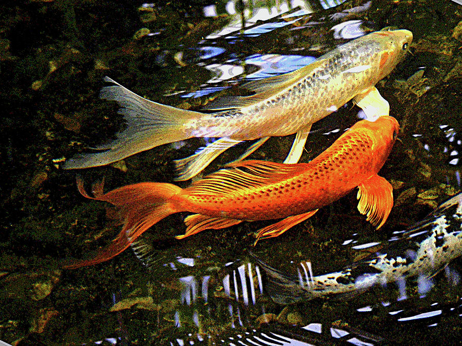 koi fish swim in synch by margie avellino