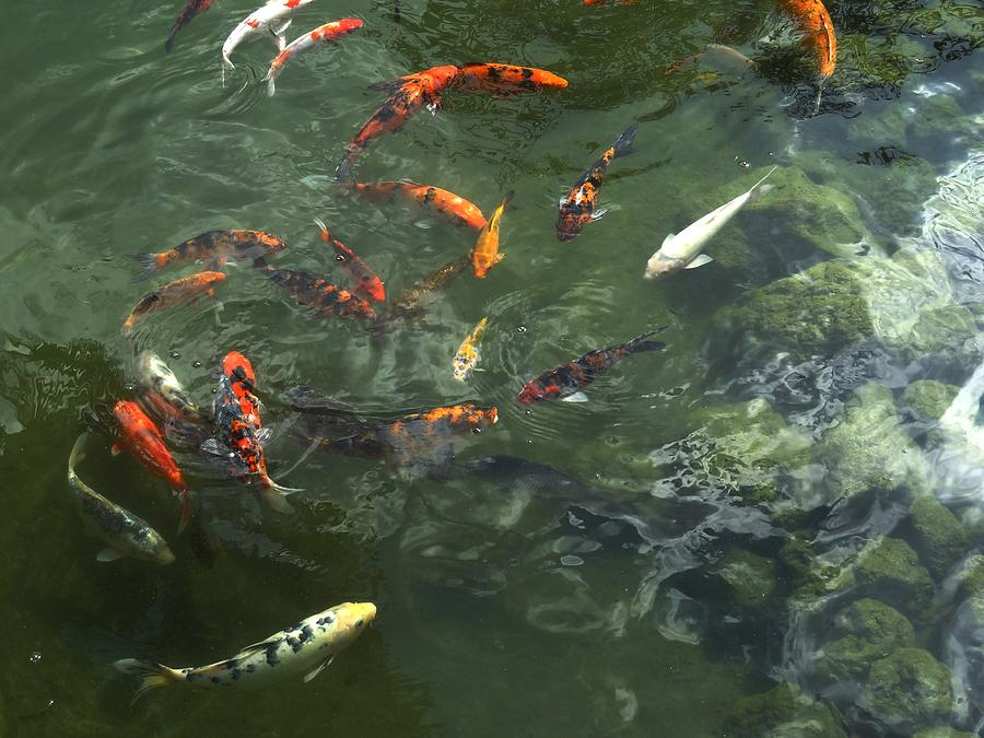 Koi fish photograph by xafira mendonsa for American koi fish