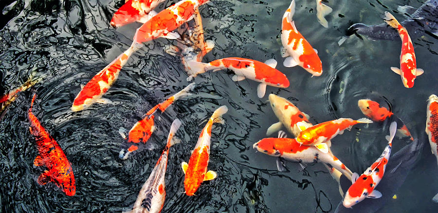 Koi fish zen photograph by slava shamanoff for Large koi fish