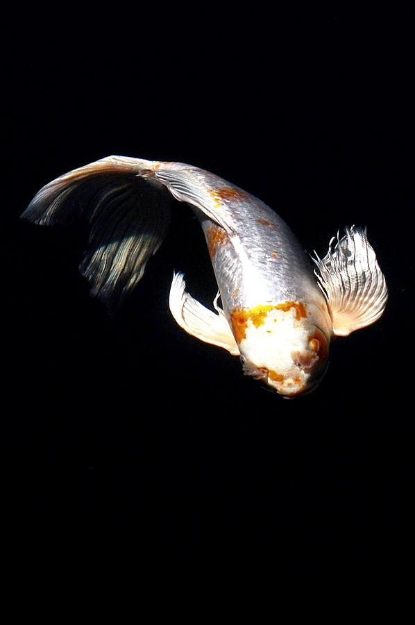 Koi From Above Digital Art  - Koi From Above Fine Art Print