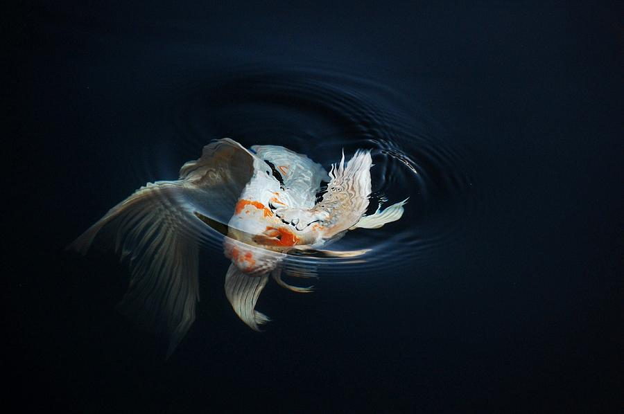 Koi Rising In The Moonlight Photograph  - Koi Rising In The Moonlight Fine Art Print