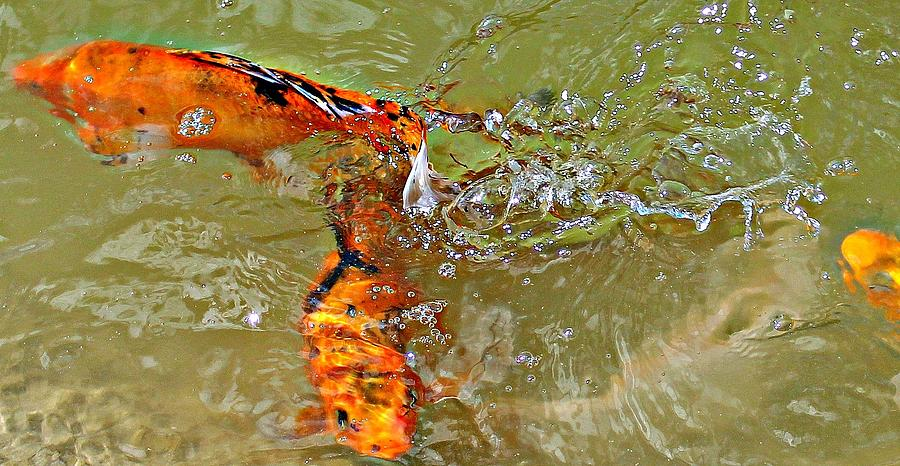 Koi Splash Photograph  - Koi Splash Fine Art Print