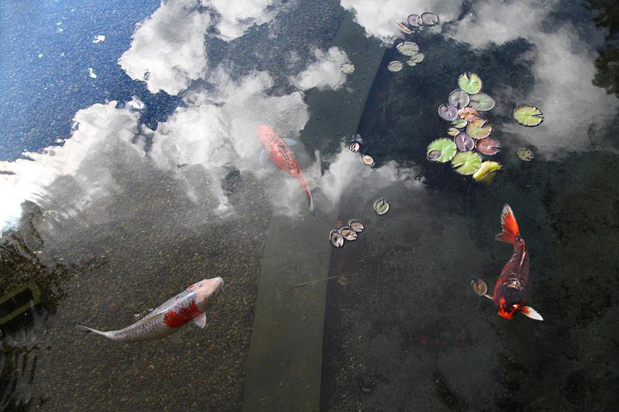 Koy fish sky pond by hugo franzani for The koy pond