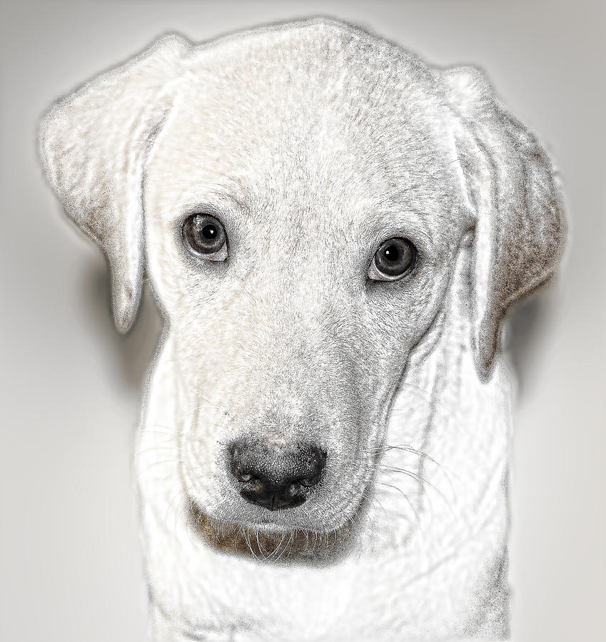 Lab Puppy Bw Sketch Digital Art  - Lab Puppy Bw Sketch Fine Art Print