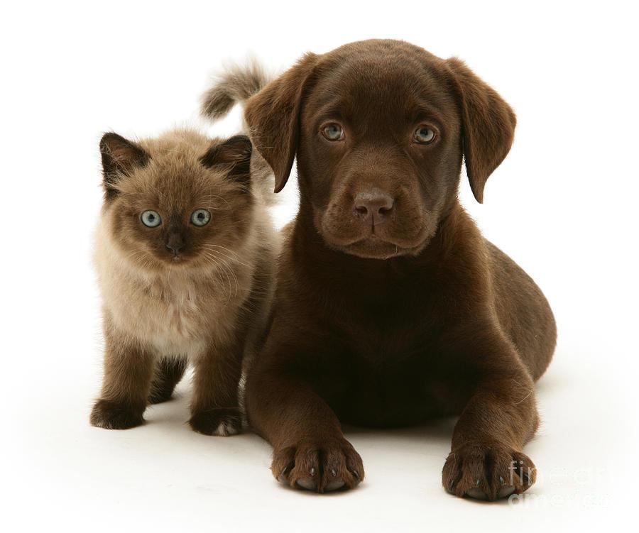 Labrador Pup And Birman-cross Kitten Photograph
