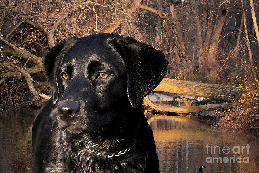 Labrador Retriever Photograph  - Labrador Retriever Fine Art Print