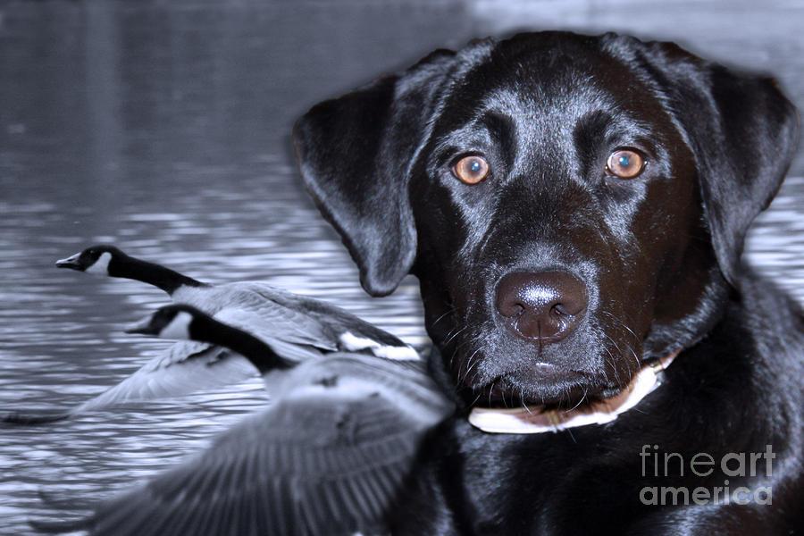 Labrador Retriever Thoughts  Digital Art